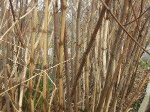 Japanese knotweed winter canes close up
