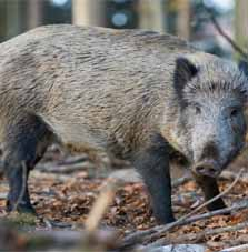 Wild boar and hybrids